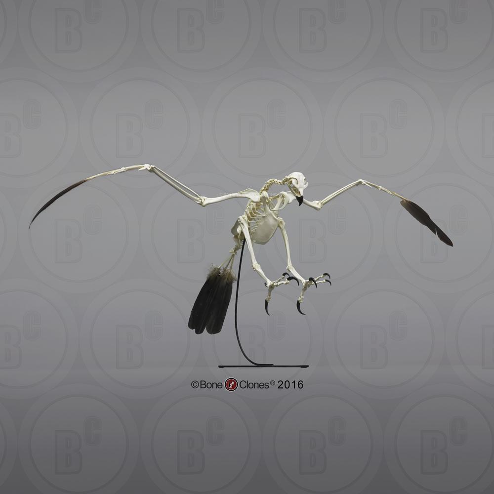Disarticulated Bald Eagle Skeleton - Bone Clones, Inc ...