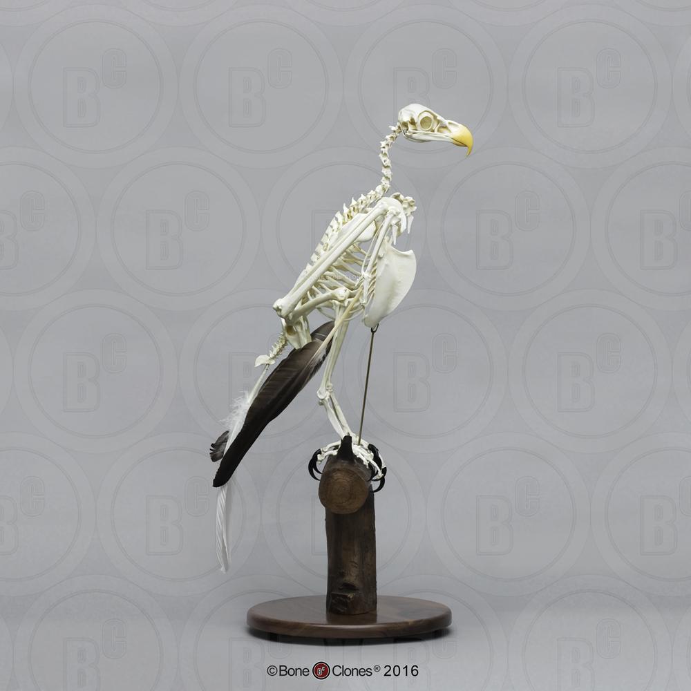Articulated Bald Eagle Skeleton - Bone Clones, Inc. - Osteological ...