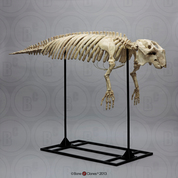 Articulated Fossil Dugong Skeleton SC-321-A