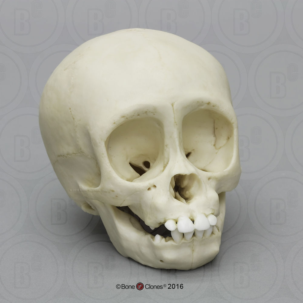 Chimpanzee Infant Skull - Bone Clones, Inc. - Osteological Reproductions