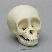 Gorilla Infant Skull