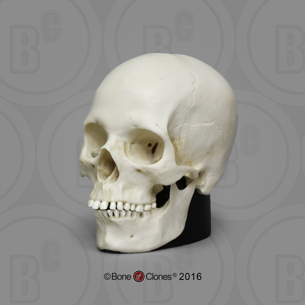 Human Male And Female Skulls - African, Asian, And -5334