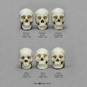 Human Male and Female Skulls African, Asian, and European, Half Scale Set