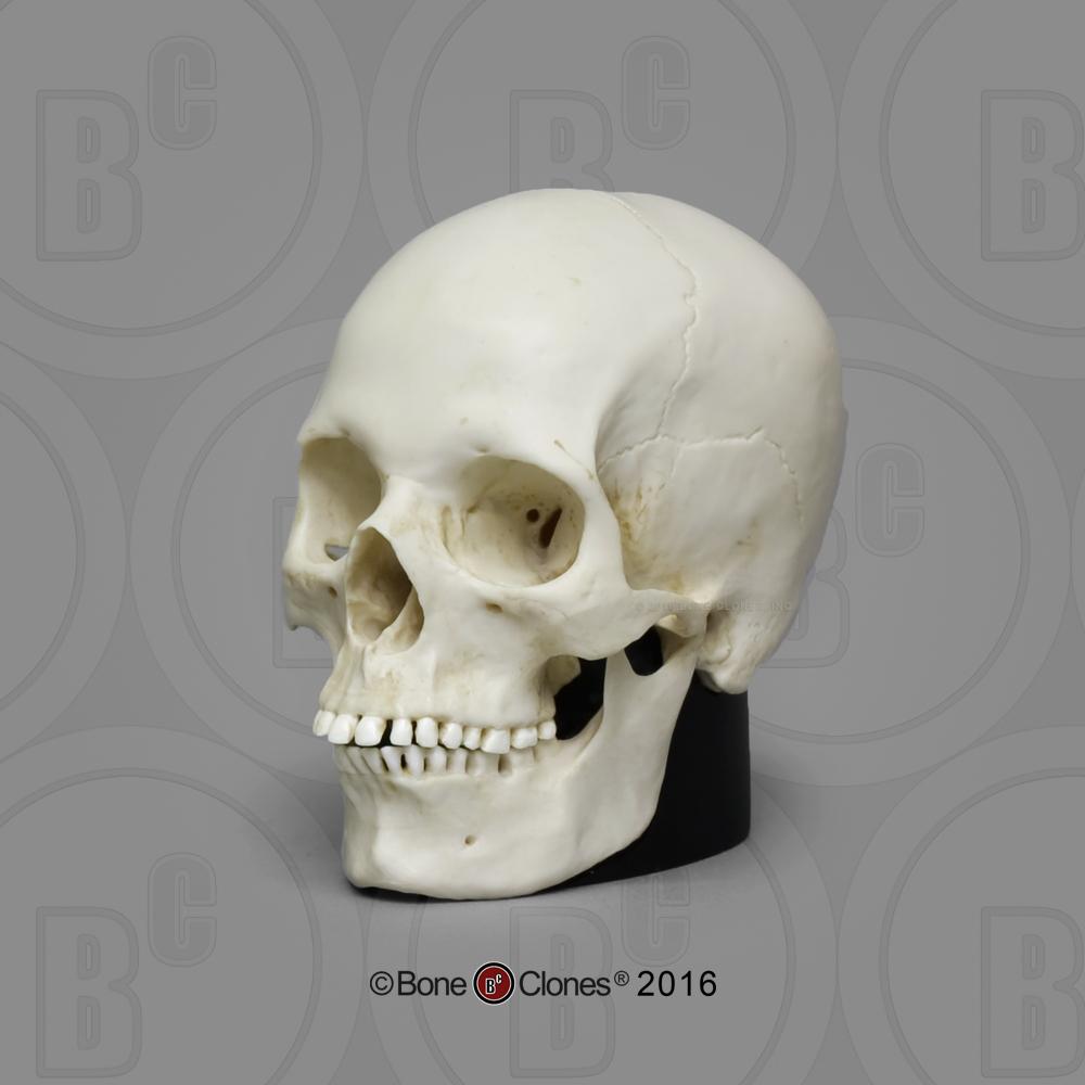 Skull Shoppe- Adult Female Caucasian - Killer Ink Tattoo  |Female Human Skull