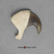 African Lion Claw