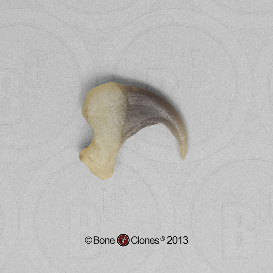 Cat Claw Anatomy Topsimages