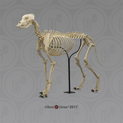 Large Dog Skeleton, Articulated