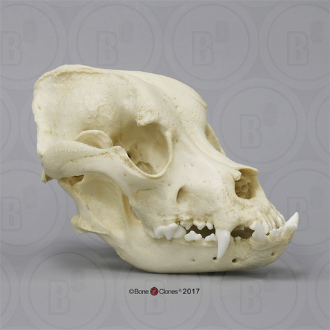 Bullmastiff Skull Bone Clones Inc Osteological