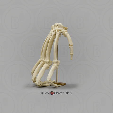 Chimpanzee Hand in Knuckle-walking Pose on Brass Stand