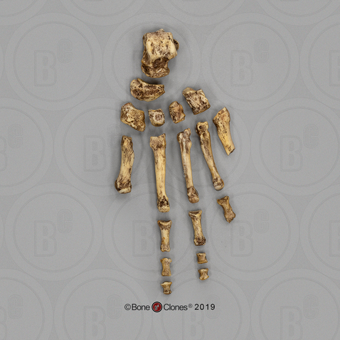 Homo floresiensis Foot, Disarticulated