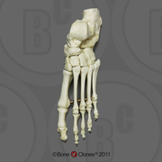 Human Adult Male Foot, articulated, Premium flexible