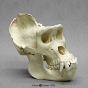 Male Gorilla skull (extra large)