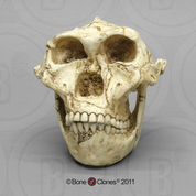 Australopithecus robustus Skull with Lower Jaw BH-003-C
