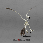Articulated Harpy Eagle Skeleton