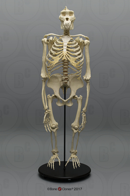Articulated Bipedal Gorilla Skeleton with Stand