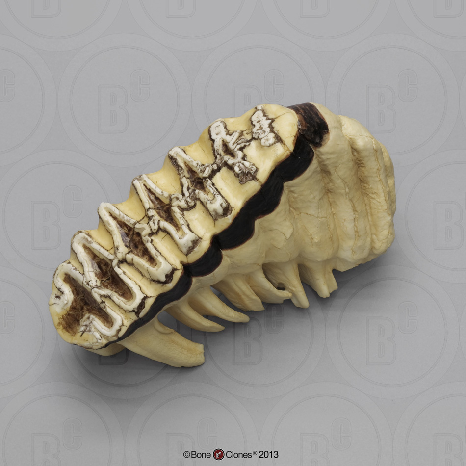 African Elephant Tooth - Bone Clones, - 226.1KB