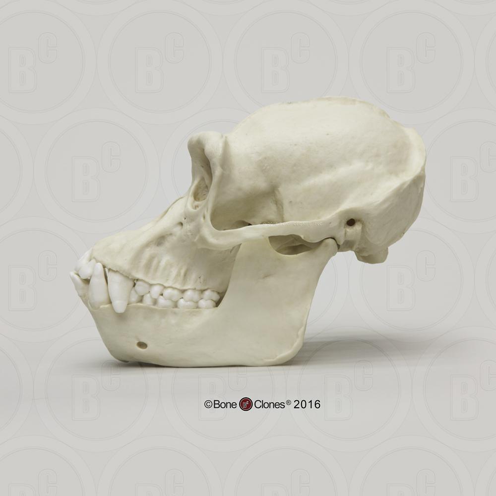 Adult Male Chimpanzee Skull - Bone Clones, Inc. - Osteological ...