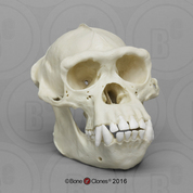 Adult Male Chimpanzee Skull, image