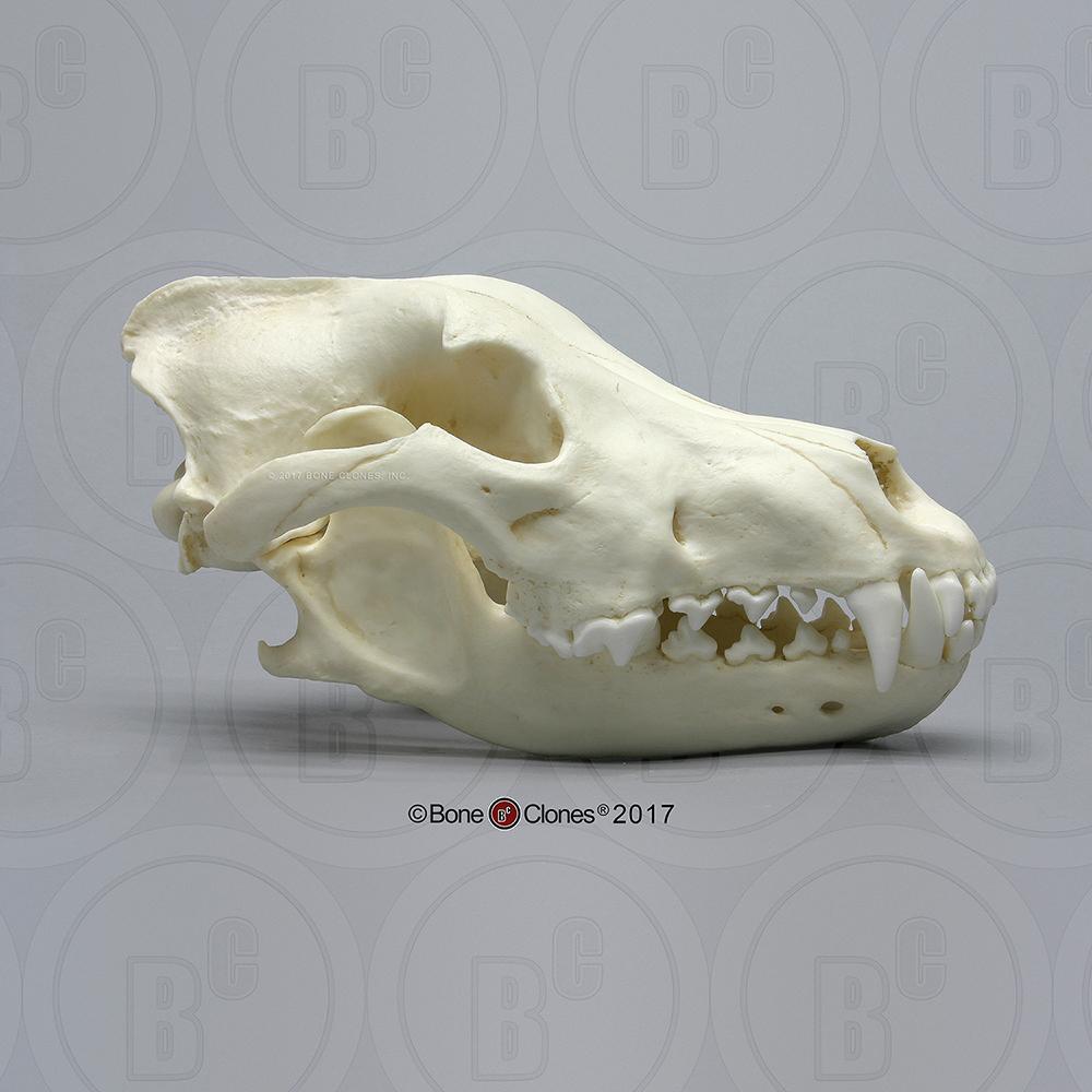 Saint Bernard Skull Bone Clones Inc Osteological Reproductions