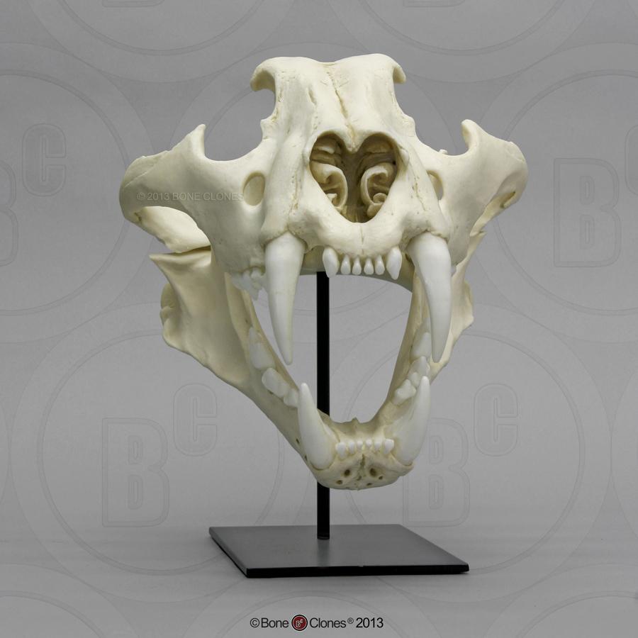 Siberian Tiger Skull, ...