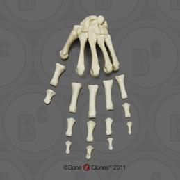 Human Hands - Bone Clones, Inc  - Osteological Reproductions