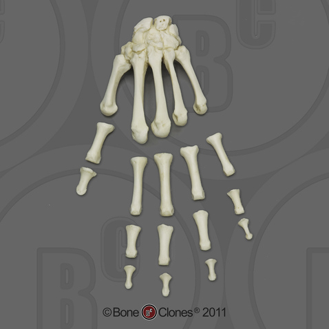 Human Adult Male Hand, semi-articulated