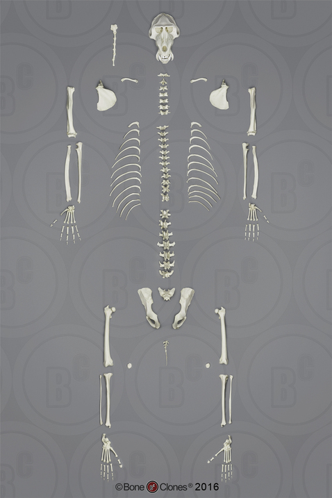 Disarticulated Mandrill Baboon Skeleton