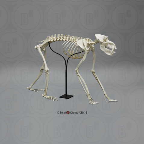 Articulated Mandrill Baboon Skeleton