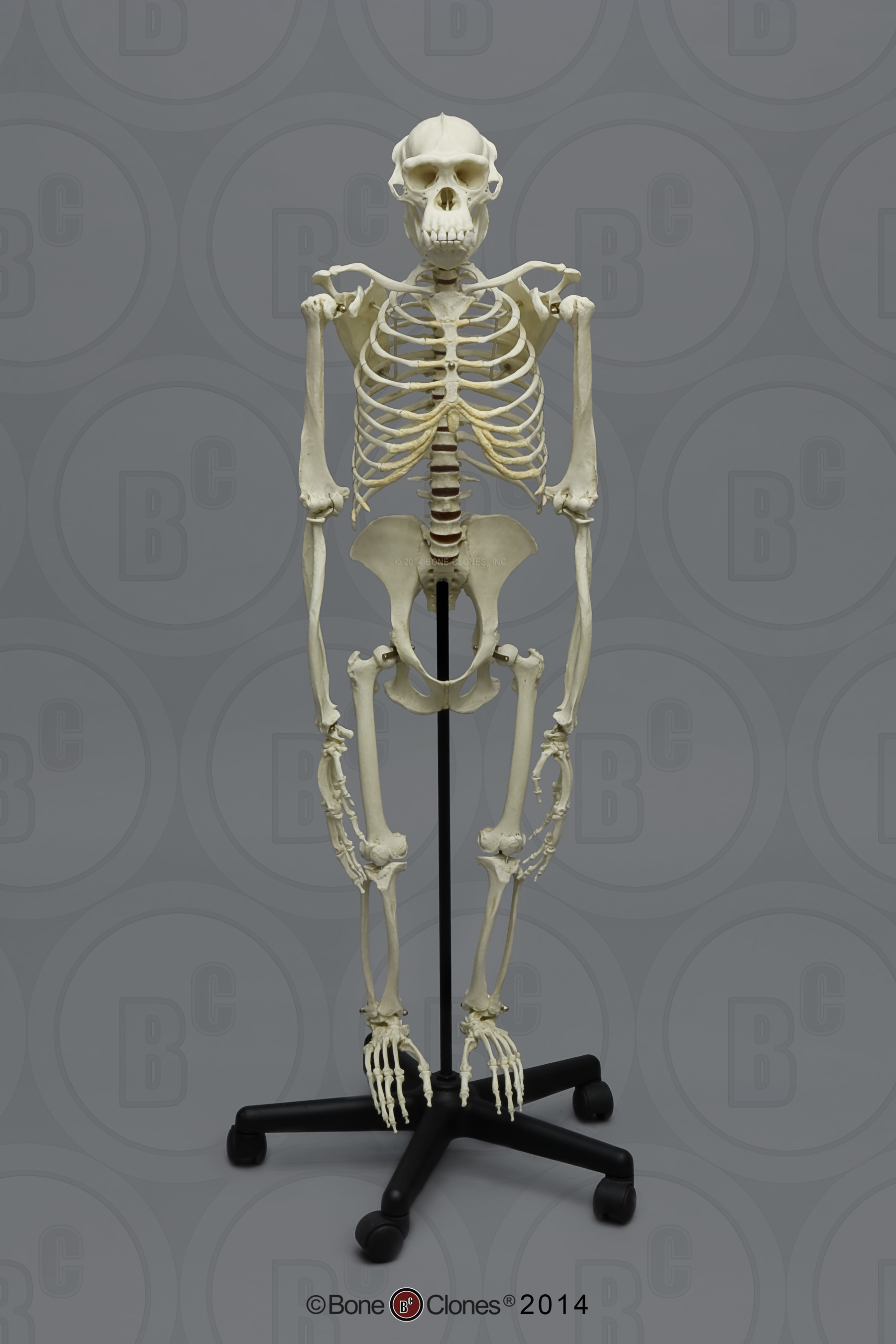 Articulated Bipedal Chimpanzee Skeleton - Bone Clones, Inc ...