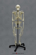 Articulated Bipedal Chimpanzee Skeleton with Stand
