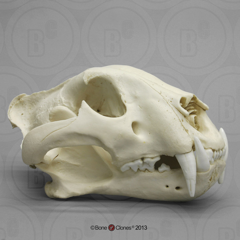 bengal tiger skull, male bone clones, inc osteological Sacrum Labeled Diagram bengal tiger skull, male