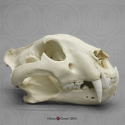 Bengal Tiger Skull, Male