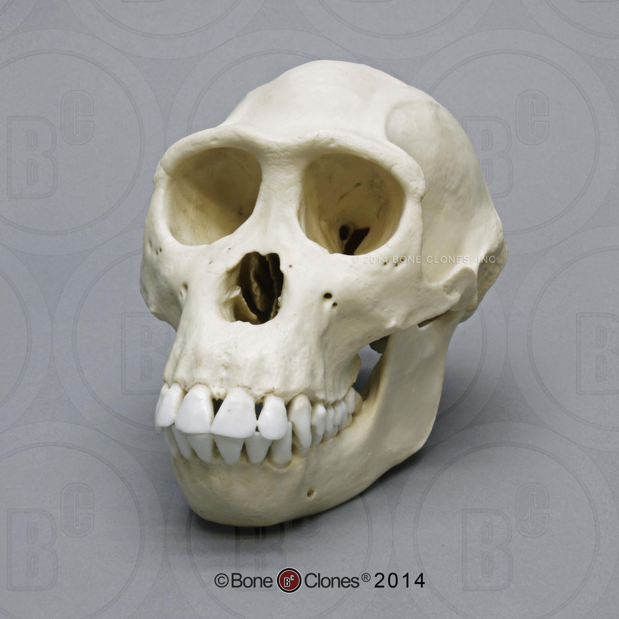 Female Bonobo Skull - Bone Clones, Inc. - Osteological ...