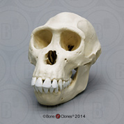 Female Bonobo Skull