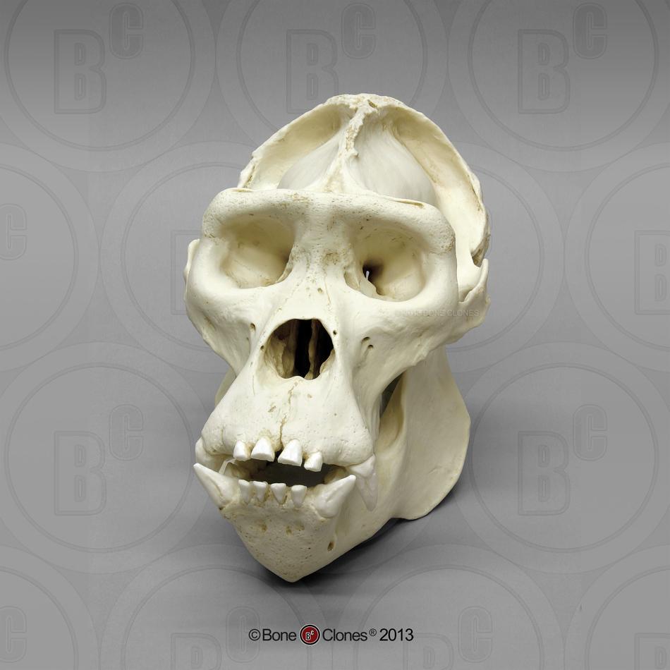 female western lowland gorilla skull - bone clones, inc, Skeleton