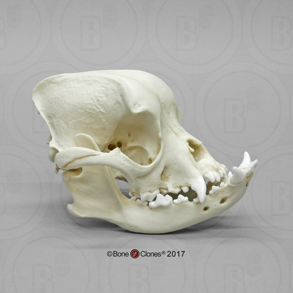 Pit Bull Dog Skull - Bone Clones, Inc. - Osteological Reproductions