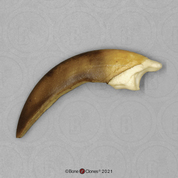 Two-toed Sloth Claw
