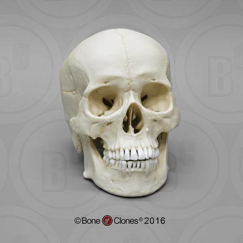 Human Male Asian Skull Bone Clones Inc Osteological Reproductions