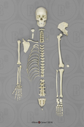 Human Female European Half Skeleton SCM-191-DH