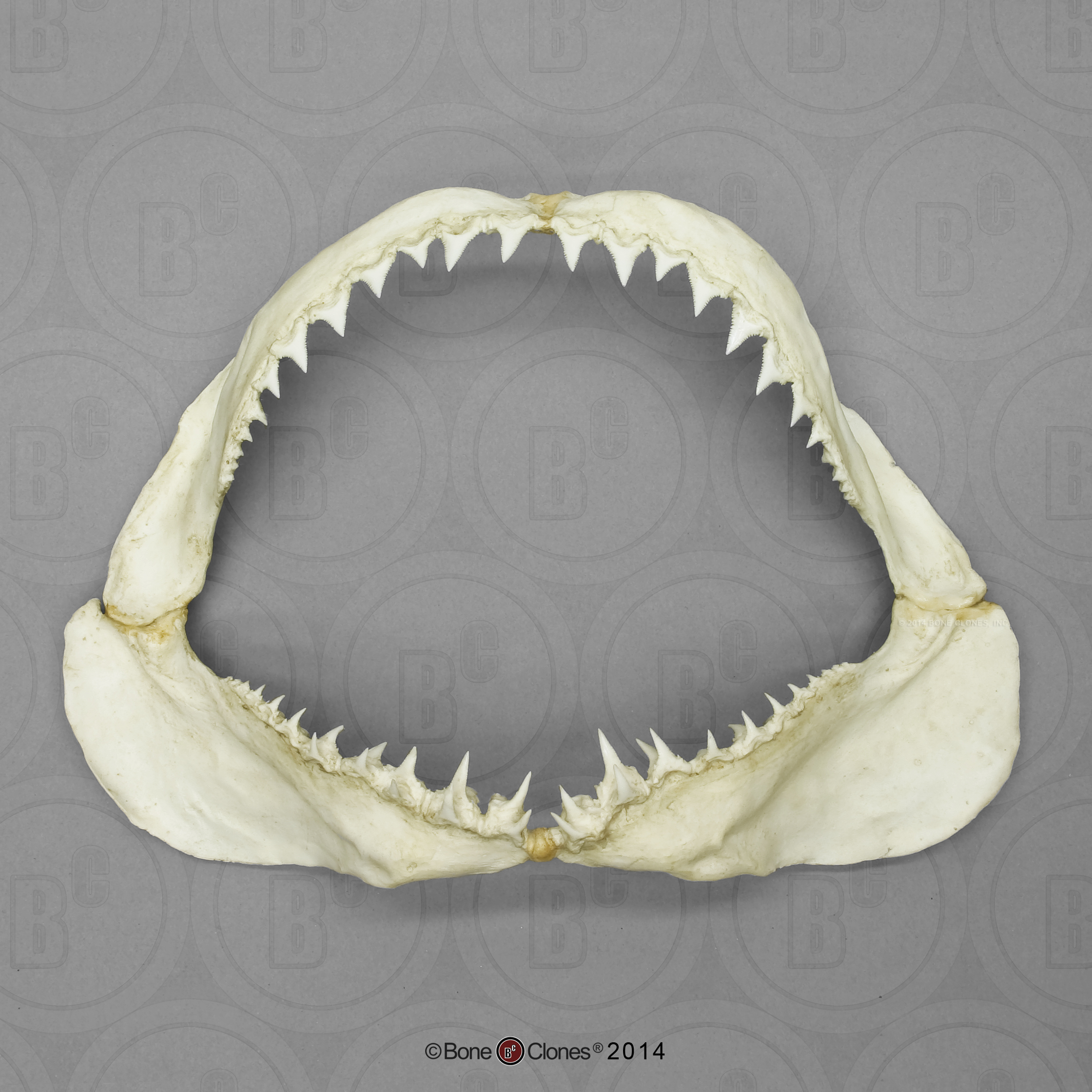 Megalodon Shark Jaw with 3 rows of 46 teeth - Bone Clones