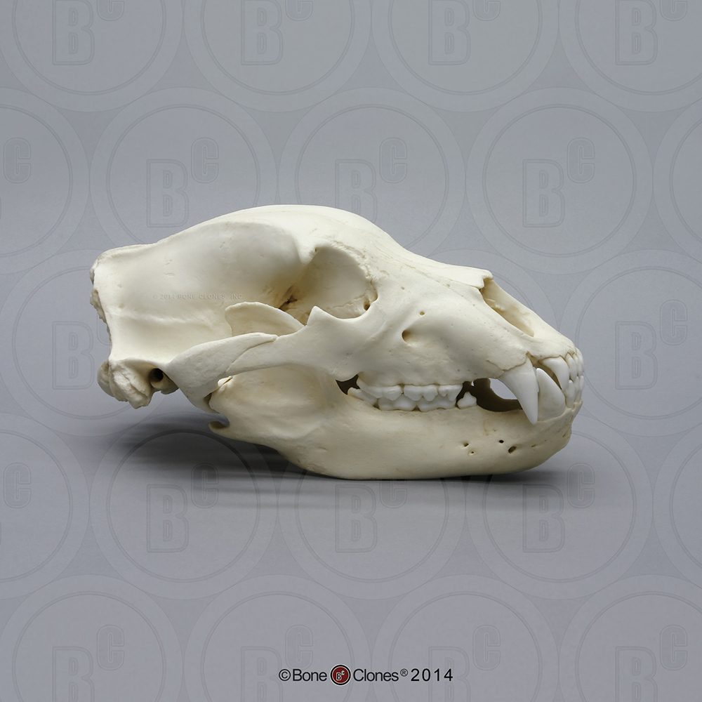 Kodiak Grizzly Bear, X-large Skull - Bone Clones, Inc ...