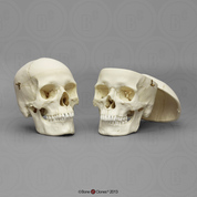 Human Female and Male European Calvarium Cut Skulls Comparison Set