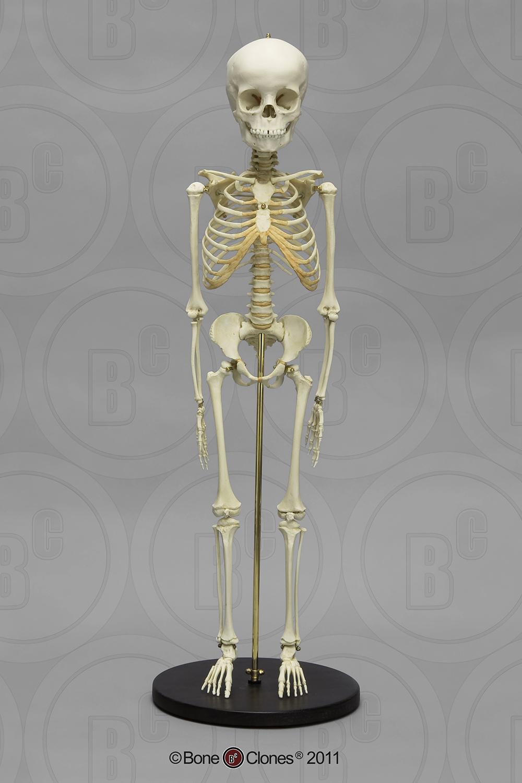 Articulated Modern Human 5 Year Old Child Skeleton Bone Clones
