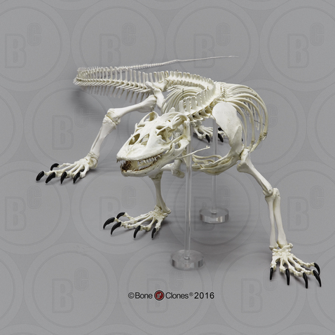 Articulated Komodo Dragon Skeleton