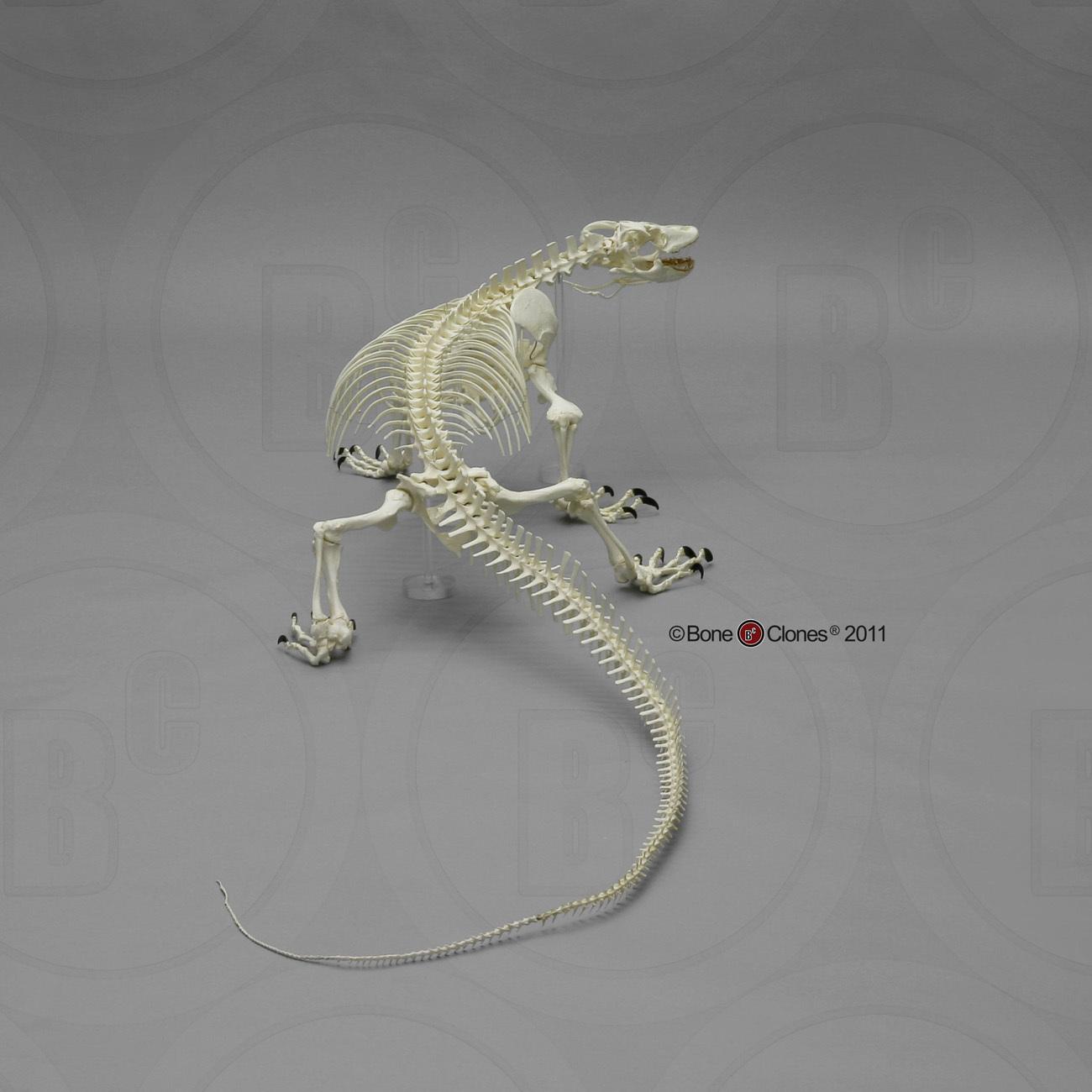 Monitor lizard anatomy