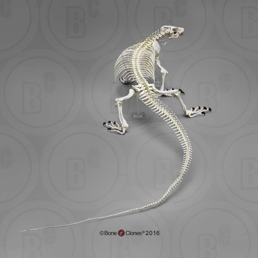 Monitor lizard anatomy