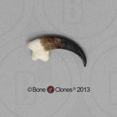 Peregrine Falcon Talons Peregrine Falcon Talon Bone