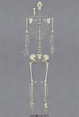 Human Male Asian Disarticulated Skeleton