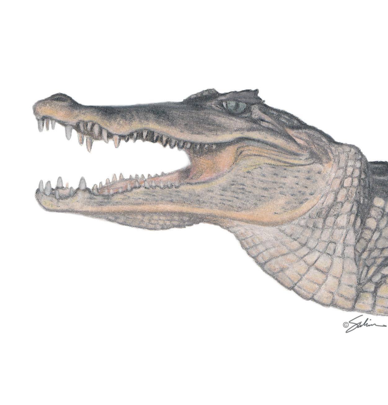 Nile Crocodile Tooth Bone Clones Inc Osteological Reproductions