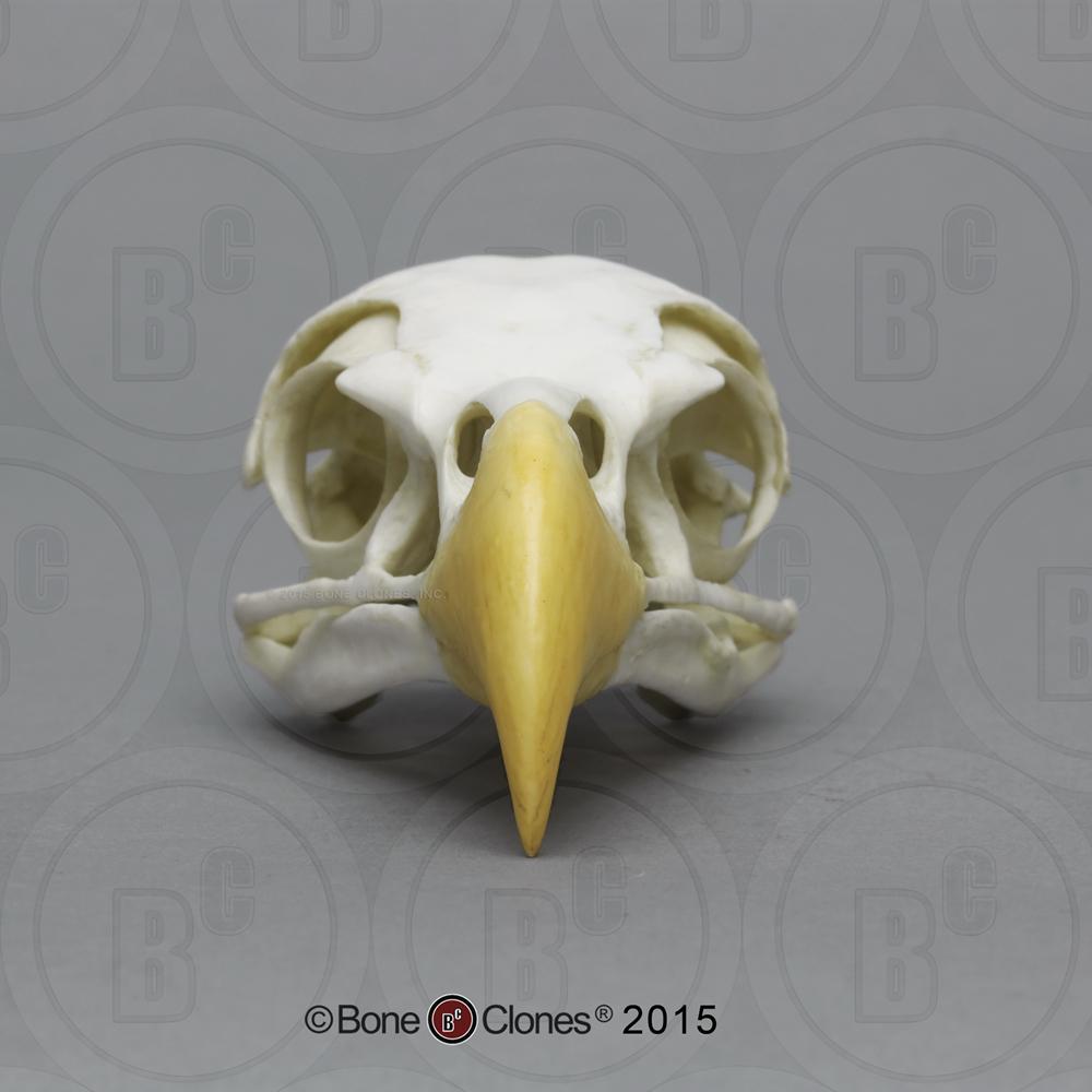 Eagle Claw Native American  Animal Skulls Bones Resin